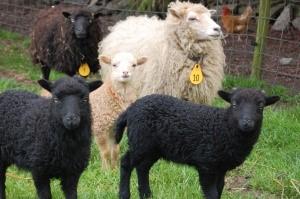 witte ooi met 2 zwarte en 1 wit lam