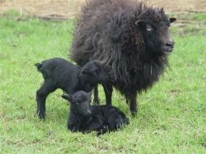 zwarte ooi met tweeling